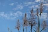 fleur de canne à sucre ciel bleu poster