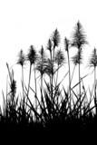 fleur canne à sucre noir et blanc poster