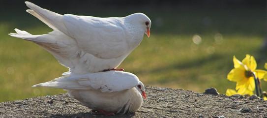white doves treading