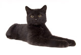black cat laying down looking straight ahead (15mm) poster