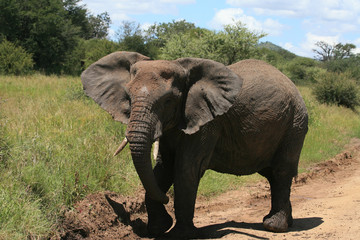 african bush elephant in serengeti national park tanzania
