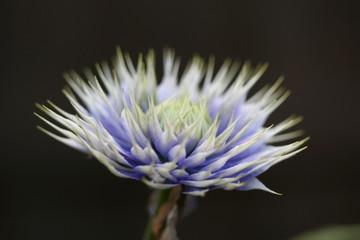 clematis flower bud
