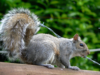 squirrel v barbed wire