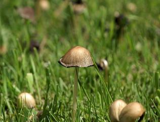 mushroom cap and mushrooms