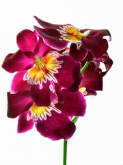 deep-red orchid excellent flowers