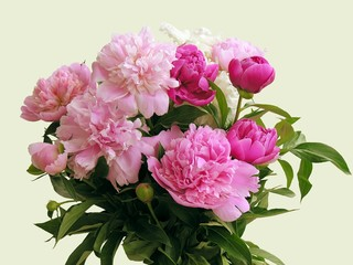pink and deep-red fragrant peonies