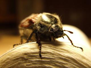 cockchafer, may-bug