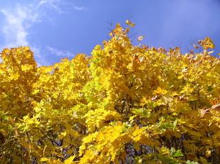 autumn yellow maple blue sky