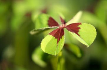 oxalis leaf