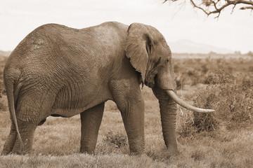 elephant tsavo east kenya