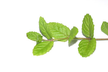 Photo of the isolated mint branch with leaves