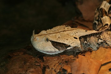 gaboon viper 2