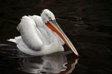 dalmatian pelican poster