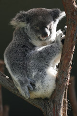 koala body sitting © Xavier MARCHANT