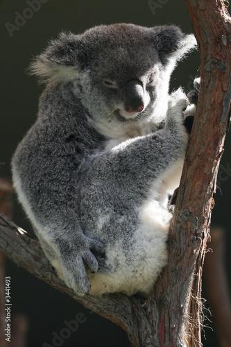 koala body sitting