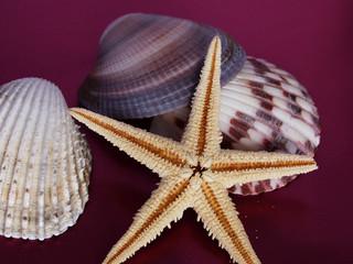 conchiglie con stella marina