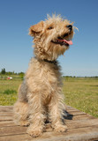 lakeland terrier poster