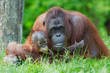 Leinwanddruck Bild mother orangutan with her baby