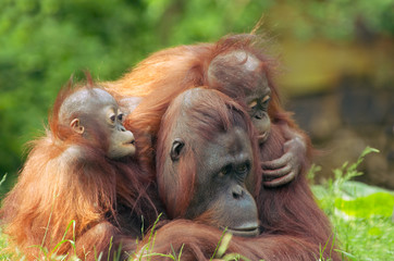 mother orangutan with her babies