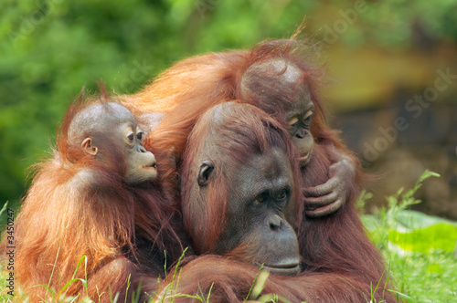 Leinwandbild Motiv mother orangutan with her babies