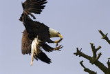 bald eagle with talons poster