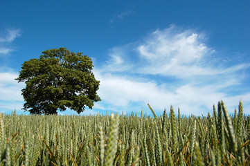 tree in a crop field