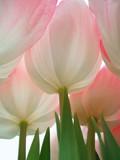 pink flowers - Fine Art prints