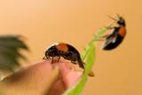 two black ladybugs poster