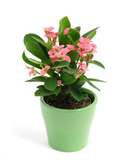 """crown of thorns"" plant in a green pot"