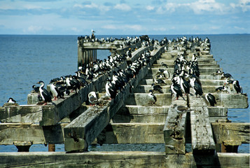 colony of cormorants