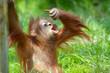 Leinwandbild Motiv cute baby orangutan