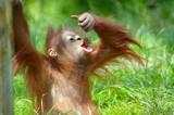 cute baby orangutan - Fine Art prints