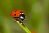 ladybug on the grass poster