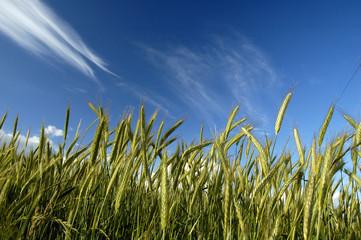 blé et ciel