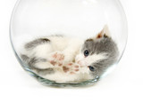 kitten napping in a fishbowl poster