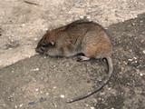 rat poster