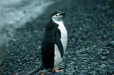 chistrap penguin