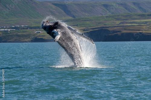 Fototapeta morze - ocean - Wodny Ssak