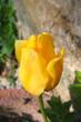 tulpe geschlossen