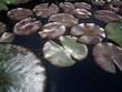 shiny lotus leaves