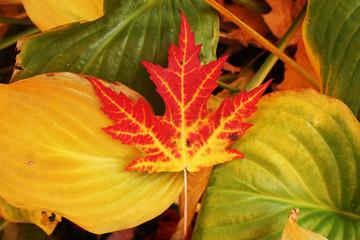 maple leaf on hosta