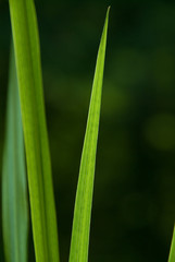 backlit blades of grass