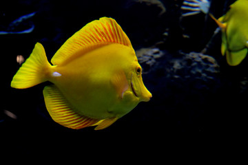 yellow surgeonfish