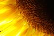 sunflower detail close-up