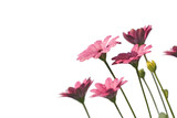 Fototapety marguerites roses