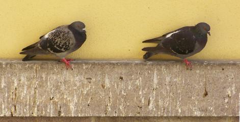 due piccioni(columba livia) equilibristi