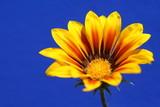 Fototapeta żółty - roślina - Kwiat