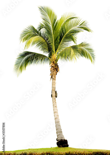 Plexiglas Palm boom palm tree isolated