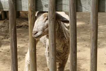 sheep in a pen 2