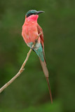 carmine bee-eater poster